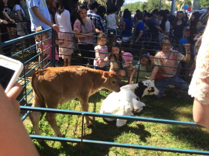 Some young cows at the Picnic Day petting zoo.