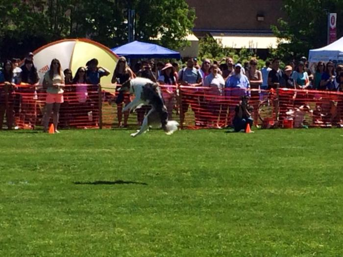 One of the dogs catching a frisbee in midair at Picnic Day.