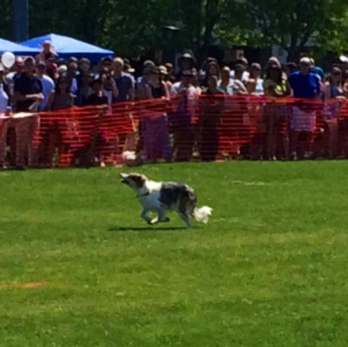 A dog running after a frisbee at Picnic Day. The frisbee is near the top of the frame.