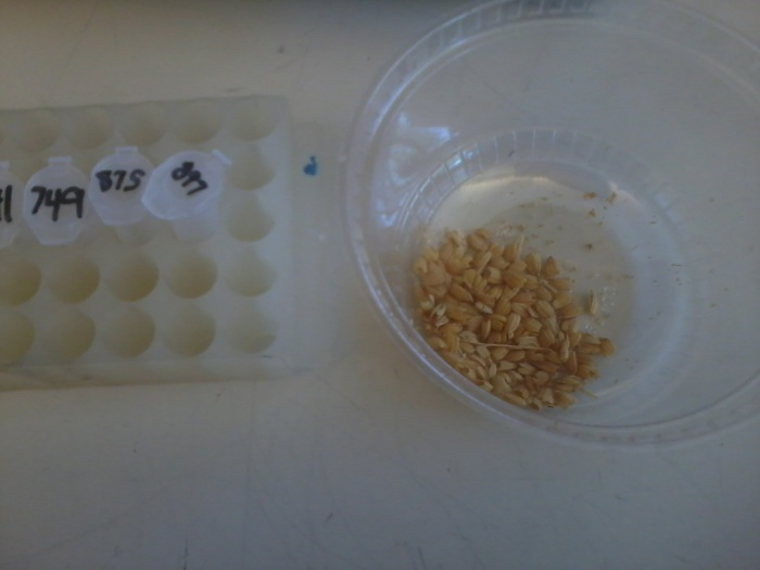 I was dehusking some rice seeds today in order to sterilize them.