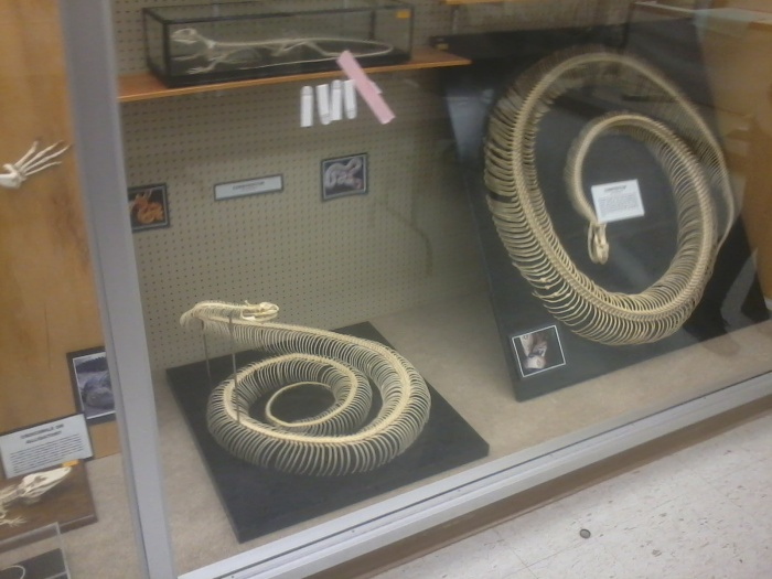 Snake Skeletons