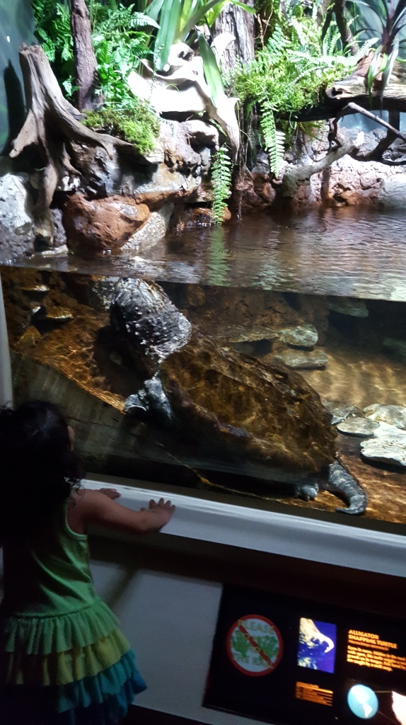 An alligator snapping turtle. Probably behind glass only because it chooses to be.